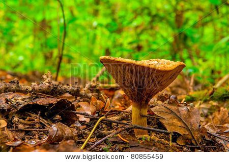 Edible Mushroom Shot Close-up In A Forest In Autumn