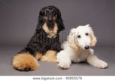 Cute afghan hound with puppy
