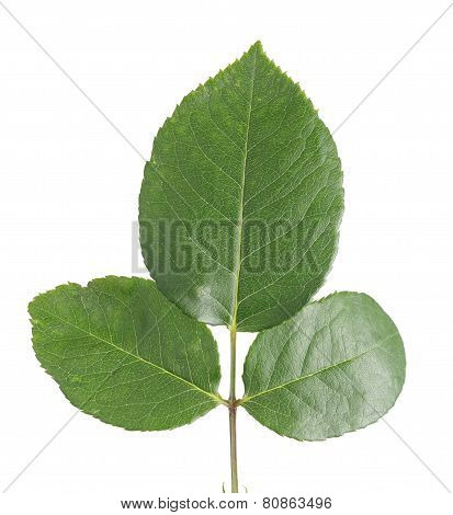 Rose Leaves Close Up Isolated