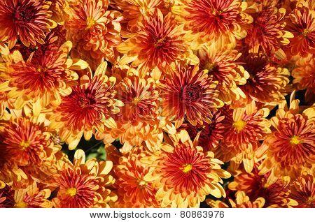 Orange Chrysanthemum Background