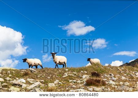 Group Of Sheep In Swiss Alps