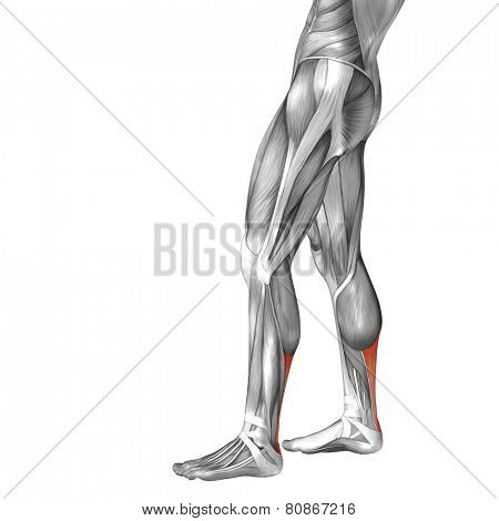Concept or conceptual 3D achilles tendon human lower leg anatomy or anatomical and muscle isolated on white background