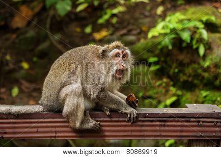 Monkeys in Monkey Forest Ubud Bali Indonesia