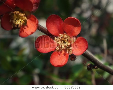 Japanese Quince (Chaenomeles japonica)