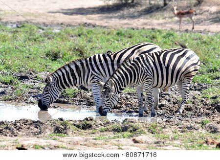 Burchell's Zebra In Africa
