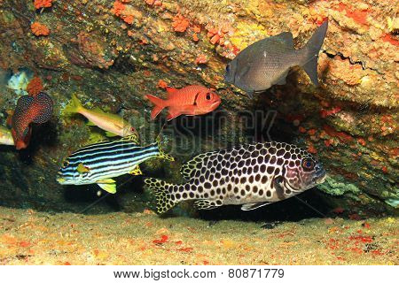 Harlequin and Oriental Sweetlips fish,squirrelfish and snappers