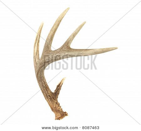 Angled Whitetail Deer Antler