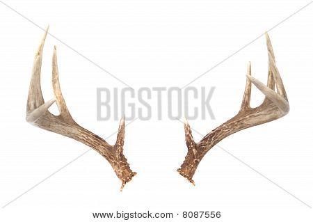 Whitetail Deer Antlers