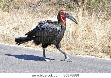 African Birds: Ground Hornbill