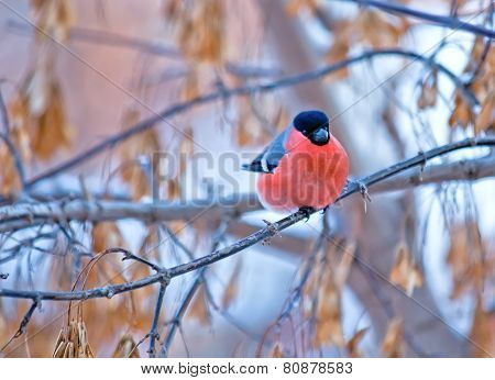 Bullfinch Bird Sitting On A Branch