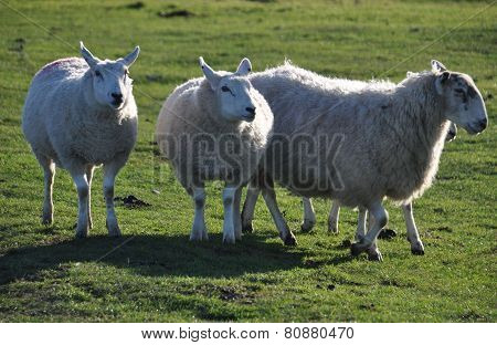Saltmarsh Sheep On Northam Burrows
