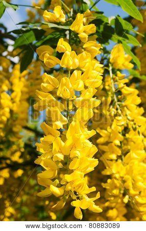 Yellow Acacia In Bloom At Spring