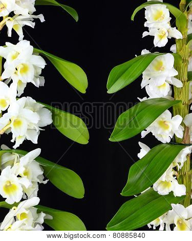 White Dendrobium Orchid Branches Isolated On Black