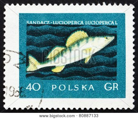 Postage Stamp Poland 1958 Giant Pike Perch, Fish
