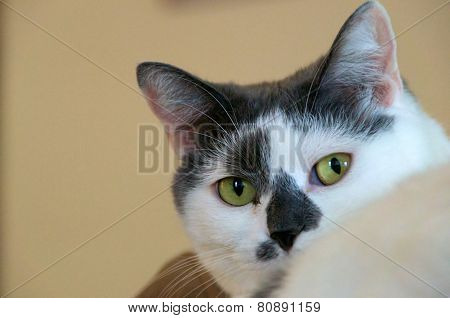 White Cat With Grey Looking At Viewer