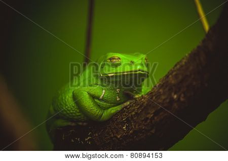 Green Frog Sleeping On Branch