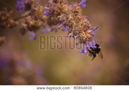 Bumblebee On Purple Flower Close Up