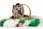 stock photo of yorkshire terrier  - Yorkshire terrier in wicker basket sitting with Christmas garland on white background - JPG