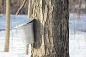 foto of maple syrup  - Metal sap bucket attached to a maple tree to catch sap drippings for making maple syrup - JPG