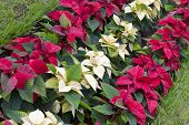 Постер, плакат: Poinsettia Plants
