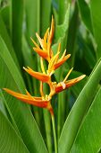 stock photo of heliconia  - Heliconia - JPG