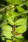 stock photo of green caterpillar  - hairy yellow and black caterpillar among green leaves - JPG
