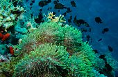 pic of clown fish  - Clown fish with its young in the anemone site on a tropical coral reef - JPG