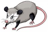 foto of opossum  - Illustration of a  close up opossum - JPG