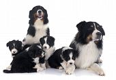 pic of australian shepherd  - purebred australian shepherd family in front of white background - JPG
