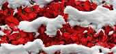stock photo of blanket snow  - Red poinsettias flowers blanketed by thick layers of snow - JPG