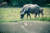 pic of carabao  - asia buffalo in grass field at thailand - JPG