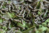 image of mulberry  - silkworms with mulberry leaves on the woven basket - JPG