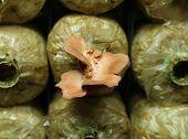 pic of spawn  - Pink oyster mushroom  - JPG