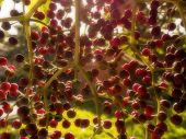 picture of elderberry  - A close - JPG