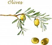 image of olive branch  - Watercolor illustration with green olives and olive branch - JPG