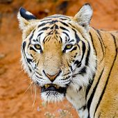 stock photo of sundarbans  - Tiger portrait of a bengal tiger in nature background - JPG