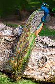stock photo of tropical birds  - Wild male Peacock bird sitting on old dry tree in tropical forest - JPG