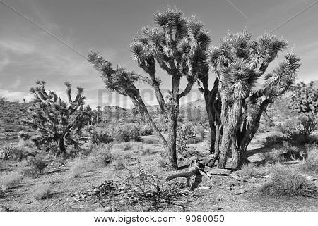 Jaegers Joshua Tree Black and White