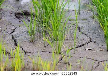 Rice Plant In Cracked Mud