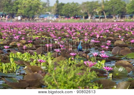 Bird Live In The Red Lotus Sea At Phatthalung, Thailand
