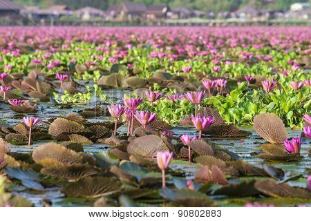 Natural Pink Lotus In Lotus Lake At Phatthalung, Thailand