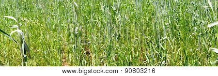 Green Grass Wheat Closeup Panorama