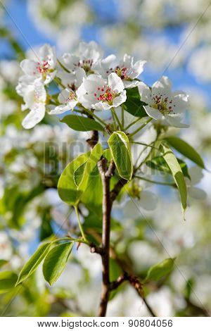 Flower Pear Spring Sunny Day