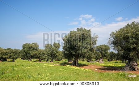 Olive Garden Near Ostuni, Puglia, South Italy