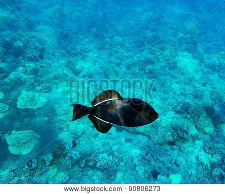 Black Triggerfish On Coral Reef Background. Molokini, Maui, Hawaii.