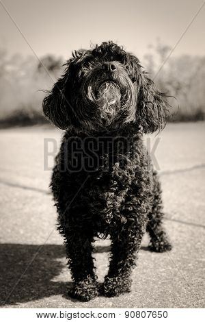 Cute little black dog in sepia