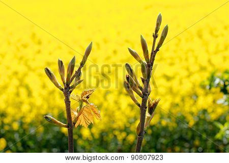 Tree Flower Buds Yellow Rapeseed