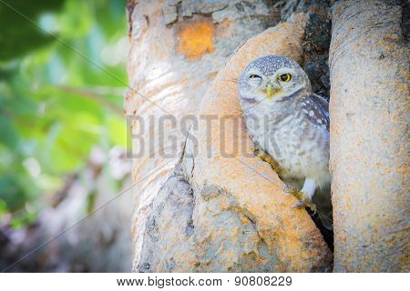 Burrowing Owl hire on the tree hole