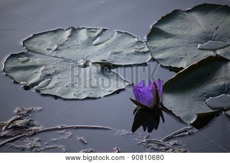 closeup shot of a purple water lily by night