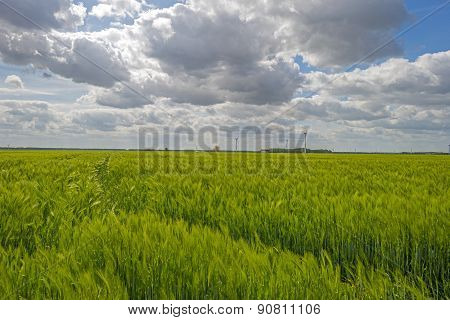 Green wheat growing on a sunny field in spring